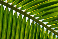 Coconut palm leaves Stock Images
