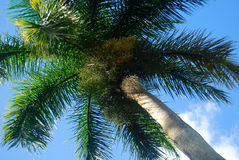 Coconut palm in Mauritius Royalty Free Stock Photography