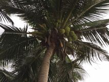 Nha Trang, Vietnam, Coconut palm stock photo