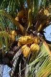 Coconut Palm with nuts Stock Photo