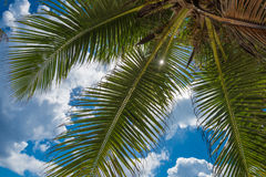 Coconut palm over blue sky background Royalty Free Stock Photography