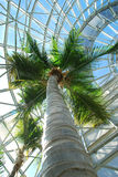 Coconut palm in palm house. Coconut palm (Cocos nucifera) stands tall in a glass palm house.  San Antonio Botanical Gardens, Texas Stock Images