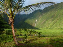 Coconut Palm in Paradise. The remote and uninhabited Waimalu Valley on the Big Island of Hawaii shelters these palm. Some of the world allest waterfalls provide Royalty Free Stock Photos