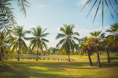 The coconut palm in the park on summer , lighting in the day par Stock Photos