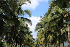 Coconut palm plantation. Detail of Coconut palm plantation Stock Photo