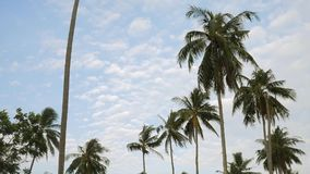 Coconut Palm Plantation Trees Against the Blue Sky with White Clouds. HD Slowmotion. Thailand. stock footage