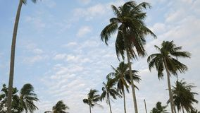 Coconut Palm Plantation Trees Against the Blue Sky with White Clouds. HD Slowmotion. Thailand. stock video