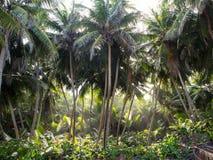 Coconut palm rainforest, Christmas Island, Australia. Coconut palm rainforest, Christmas Island, Indian Ocean Territory of Australia Stock Photos