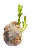 Coconut palm seedlings. Stock Photos