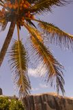 Coconut palm in the Seychelles with granite rocks Stock Photography