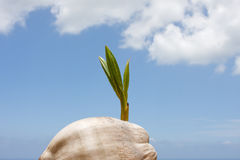 Coconut palm sprout. Baby coconut palm sprouting into the sky and clouds Stock Image