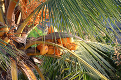 Coconut palm in sunny day with coconuts Royalty Free Stock Photos