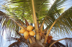 Coconut Palm Tree. Coconuts growing on a palm tree in Belize Stock Photos