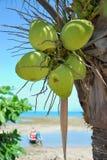Coconut palm tree Stock Photography