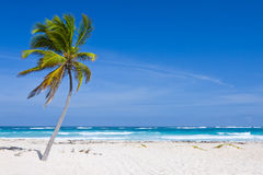 Coconut Palm Tree. On the Tropical Beach, Bavaro, Punta Cana, Dominican Republic Stock Photos