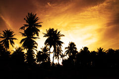 Coconut palm tree Stock Photography