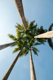Coconut palm tree. Five coconut palm tree with blue sky Stock Images