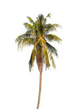 Coconut palm tree. Coconut palm tree isolated on white background Stock Photography