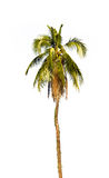 Coconut palm tree. Royalty Free Stock Photos