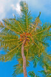 Coconut Palm Tree. Scenic view of coconut palm tree, Indonesia, Southeast Asia royalty free stock photo