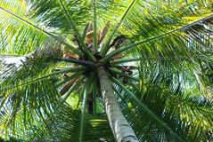 Coconut palm tree. Low angled shot of coconut palm tree Royalty Free Stock Photos
