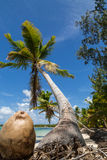 A coconut and a palm tree Royalty Free Stock Photography