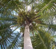 Coconut Palm Tree. Florida coconut palm tree, showing coconuts, branches, and trunk. from the ground up Royalty Free Stock Image