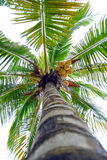 Coconut Palm Tree. Viewed from bottom of trunk. Sun burnt leaves on fronds Stock Photos