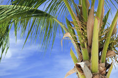 Coconut Palm tree. Royalty Free Stock Images