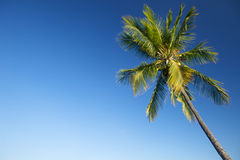 Coconut palm tree against blue sky. Copy space Royalty Free Stock Photography
