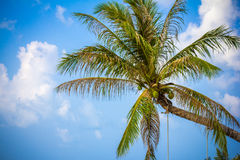 Coconut palm tree against blue sky. Thailand Royalty Free Stock Photography