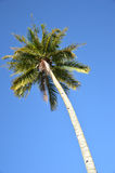 Coconut palm Royalty Free Stock Photos