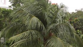 Coconut palm. Coconut tree at the background of blue sky and clouds stock video footage