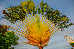 Coconut palm tree on the background of blue sky. Philippines. Royalty Free Stock Photography