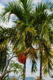 Coconut palm tree on the background of blue sky. Philippines. Stock Image