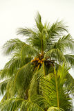 Coconut palm Stock Photography