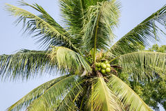 Coconut palm tree in Bagan, Myanmar Stock Photo