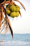 Coconut palm tree on the beach Royalty Free Stock Image