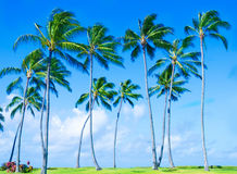 Coconut Palm tree on the beach in Hawai Stock Images
