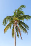 Coconut Palm Tree Blowing on Blue Stock Photography