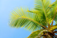 Coconut palm tree on blue clean sky background. Coconut palm tree leaf fronds on blue clean sky background at tropical climate Royalty Free Stock Photography