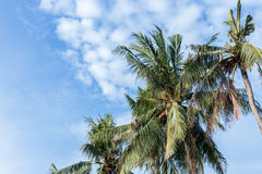 Coconut palm tree on blue cloudey sky on a tropical island Bali, Indonesia. Royalty Free Stock Image