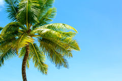 Coconut palm tree on blue sky Stock Images