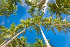 Coconut Palm tree with blue sky, beautiful tropical background stock image