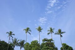 Coconut palm tree with blue sky Royalty Free Stock Photo