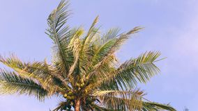 Coconut Palm Tree on Blue Sky. Paradise Tropical Island Background. 4K. Coconut Palm Tree Against Blue Sky. Paradise Tropical Island Background. 4K stock video footage