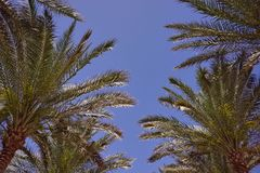Coconut Palm tree with blue sky,retro and vintage tone. Stock Photo