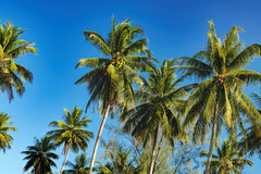 Coconut palm tree on bright blue sky background Royalty Free Stock Image