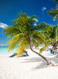 Coconut palm tree on caribbean  beach Royalty Free Stock Image