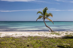 Coconut Palm Tree on Caribbean Island Stock Photography